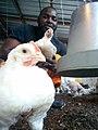 Broiler Chickens1.jpg