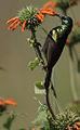 Bronze Sunbird (Nectarinia kilimensis) male.jpg