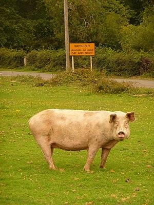 Một con lợn nhà