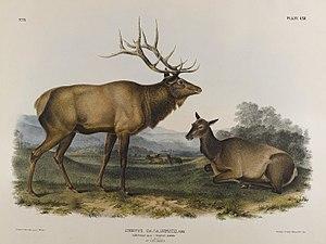 Eastern elk - Illustration of the extinct elk subspecies Cervus canadensis canadensis, John James Audubon 1847