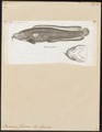 Brosmius flavescens - 1815-1832 - Print - Iconographia Zoologica - Special Collections University of Amsterdam - UBA01 IZ14000129.tif