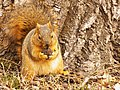 Brown Squirrel Eating Walnut.jpg