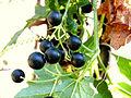 Bryony Berries.jpg