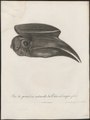 Buceros hydrocorax - kop - 1796-1808 - Print - Iconographia Zoologica - Special Collections University of Amsterdam - UBA01 IZ19300175.tif