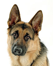 Http Www Germanshepherds Com Forum Diet Nutrition  Victor Dog Food Html