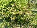 Budai Arborétum. Felső kert. Skarlátvörös japánbirs (Chaenomeles speciosa). - Budapest XI. kerület.JPG