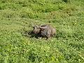 Buffalo in Carranglan, Nueva Ecija jf4594 01.jpg