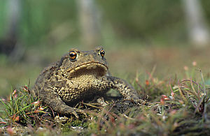 Type (biology) - The common toad, Bufo bufo described by Linnaeus, is the type species for the genus Bufo