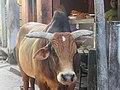Bull.1.jpg