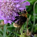 Bumblebee mimic hoverfly (Merodon equestris?) on scabious, Sandy, Bedfordshire (7599204182).jpg