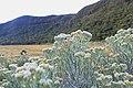 Bunga Edelweiss.jpg