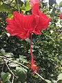 Bunga Kembang Sepatu.jpg