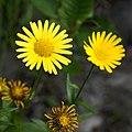 Buphthalmum salicifolium L. (9371284376).jpg