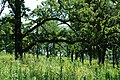 Bur-oak-savanna-Wisconsin.jpg