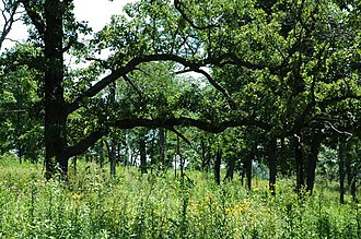 Oak savanna - Wisconsin bur oak savanna; mid-summer