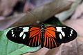 Burney's longwing (Heliconius burneyi catharinae).JPG