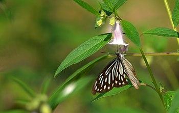 Butterflies from Adina Deer Park 2.jpg