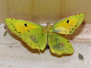 Butterfly.Died.jpg