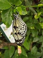 Butterfly profile (12046378614).jpg