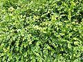 Buxus sempervirens foliage0.jpg