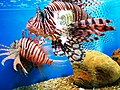Cá mao tiên (cá sư tử) Nha Trang 3.jpg