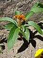 Célosia cristata orange.JPG