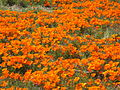 CA Wild Poppies 2010 C.JPG