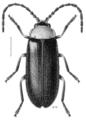 COLE Cantharidae Asilis fulvithorax.png