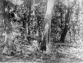 COLLECTIE TROPENMUSEUM Djatibos houtvesterij Tjepoe Midden Java TMnr 10012987.jpg
