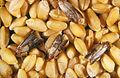 CSIRO ScienceImage 2458 Indian meal moth.jpg