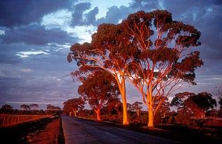 <i>Eucalyptus salmonophloia</i> Species of eucalyptus