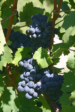 Grapes and leaves of the grape variety Caberne...
