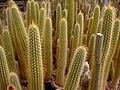 Cactaceae in iran- mahallat city کاکتوس های گلخانه های محلات- ایران 18.jpg