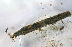 250px-Caddisfly_Larva dans MOUCHE