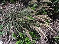 Calamagrostisfoliosa2.jpg
