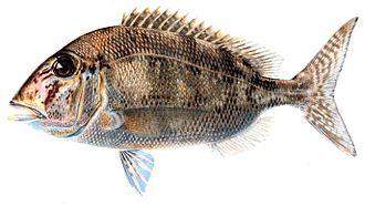 Calamus (fish) - Calamus bajonado