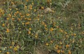Calendula arvensis. Annuals depend on ploughing (April) (37724374992).jpg