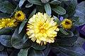 Calendula officinalis Bon Bon Mix 2zz.jpg