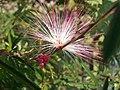 Caliandra rosa.jpg