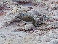 Calidris bairdii at the Salar de Atacama.JPG
