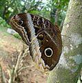 Caligo atreus dionysos. - Flickr - gailhampshire.jpg