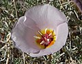 Calochortus flexuosus 1.jpg