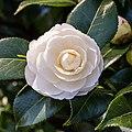 Camellia × williamsii 'Jury's Yellow'. 31-03-2020 (d.j.b.) 01.jpg