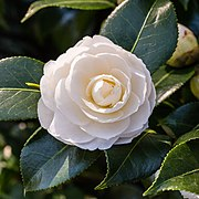 Camellia × williamsii 'Jury's Yellow'. 31-03-2020 (d.j.b.) 01.jpg