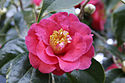 Camellia japonica flower 2.jpg