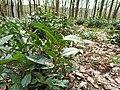 """Camellia sinensis на території заповідного урочища """"Широкий"""" (6).jpg"""