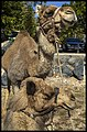 Camels at Jamieson Park Scarborough-1 (14838865932).jpg