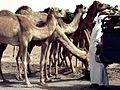 Camels in Fujairah, UAE.jpg