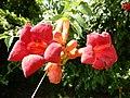 Campsis grandiflora, 1.jpg