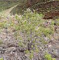 Campylanthus salsoloides kz3.JPG